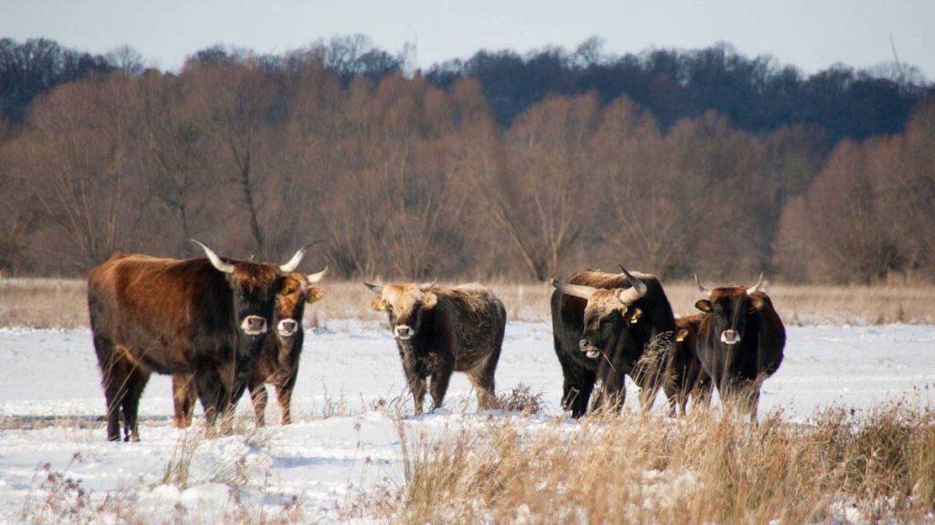 Auerochsen im Winter