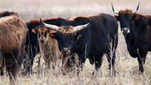 Auerochsenbulle mit Herde