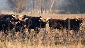 Herde Auerochsen auf Weide